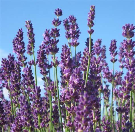 varieties of lavender the best french english lavender varieties to grow in zone 5 dengarden