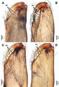Retromargin Of Chelicerae  A  Leclercera Nagarjunensis Li