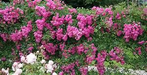 Rosen Für Rosenbogen : rambler kletterrosen rosen rosen online kaufen im rosenhof schultheis ~ Orissabook.com Haus und Dekorationen