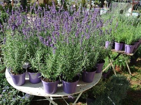 lavanda in vaso lavanda in vaso piante da giardino lavanda coltivata