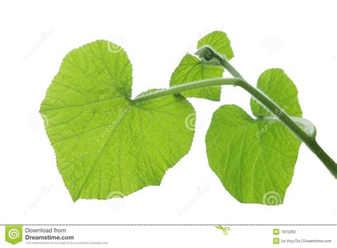 Pumpkin Leaves Stock Photo. Image Of Element, Background
