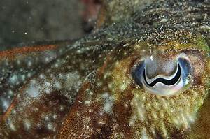 Real Monstrosities: Common Cuttlefish