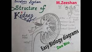Easy Diagram Of Kidney