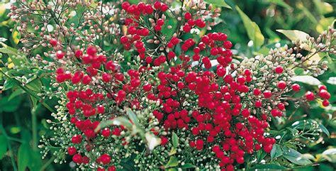 piante da cespuglio fiorite siepe sempreverde fiorita tutti i consigli per la coltivazi