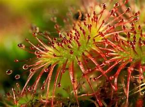 Venusfliegenfalle Pflege Haltung : fleischfressende pflanzen j ger unter den zimmerpflanzen zimmerpflanzen garten ~ Watch28wear.com Haus und Dekorationen