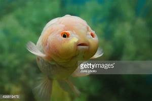 Very Cute Fish With A Baby Face Stock Photo | Getty Images