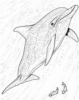 Dolphin Coloring Dolphins Bottlenose Drawing Realistic Animals Jumping Animal Adult Printable Wildlife Getdrawings Swimming Adults Pick Simply Select Sea sketch template
