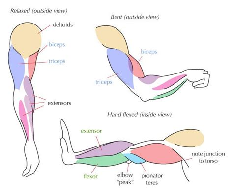 Anatomy of the human body. 18 best muscle_arm images on Pinterest | Anatomy reference ...