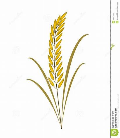 Rice Plant Clipart Background Vector Paddy Illustration