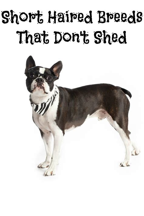 Dogs That Shed The Least Hair by Haired Breeds That Don T Shed Dogvills