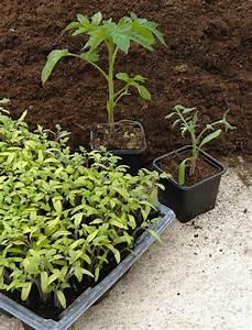 Planter Des Graines De Tomates : planter tomate cerise plantation de tomate en pleine ~ Dailycaller-alerts.com Idées de Décoration