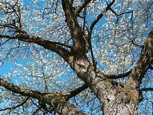 Rosa Blühender Baum Im Frühling : file bl hender kirschbaum im fr wikimedia commons ~ Lizthompson.info Haus und Dekorationen