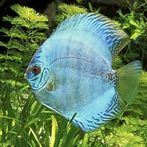 Poisson Aquarium Eau Chaude : discus 15 17 cm aquariums alimentation accessoires ~ Mglfilm.com Idées de Décoration
