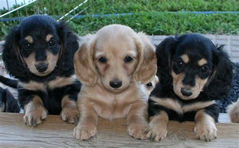 cute puppy dogs miniature dachshund puppies