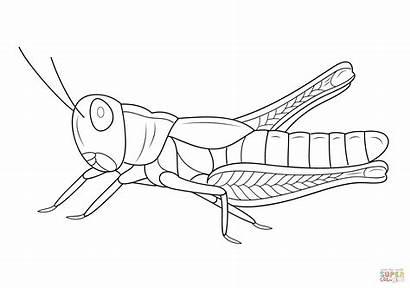 Grasshopper Coloring Sauterelle Coloriage Polny Konik Colorare