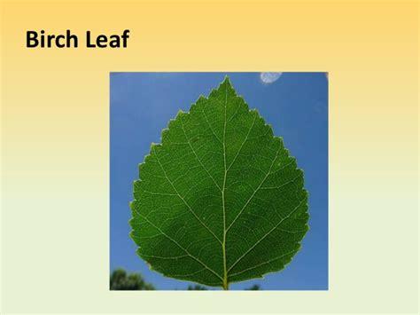 identification  leaves  minnesota