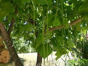 Kugel Trompetenbaum Schneiden : trompetenbaum catalpa bignonioides baumschule horstmann ~ Lizthompson.info Haus und Dekorationen
