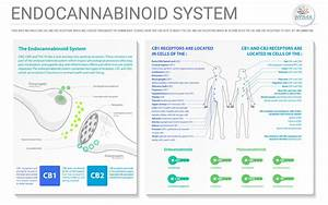Endocannabinoid System 101  A Beginner U2019s Guide To The Ecs