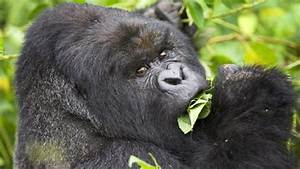 11 Tips for Mountain Gorilla Trekking in Rwanda ...