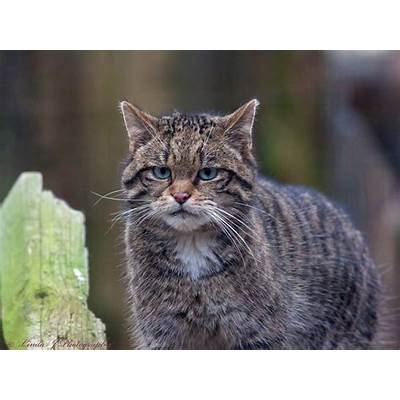 There are only 35 Scottish wildcats left. Can they be saved?