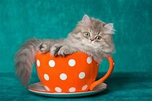 Teacup Persian Cat Full Grown |Angora Cat | ANIMAL ONLINE