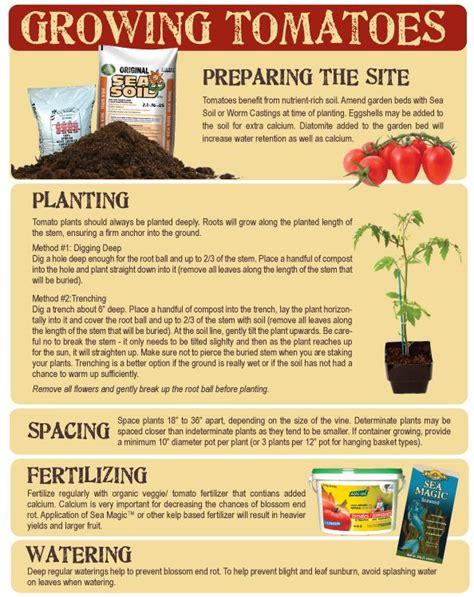 tomatoes growing tips tomato growing tips growing pinterest