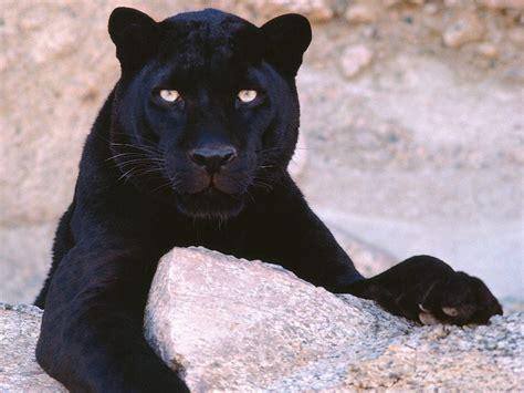 black panthers phone number black panthers