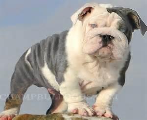 Blue English Bulldog Puppies