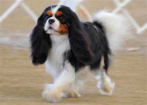 Tri-Colored Cavalier King Charles Spaniel ♥ ♥ What a ...