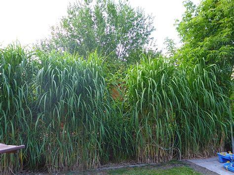 Pflanzen Sichtschutz Im Garten by Schilf Als Sichtschutz For Zaun Sichtschutz