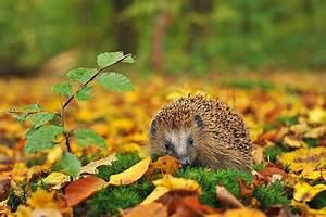 Schöne Herbstbilder Kostenlos : igel im herbst hedgehog in autumn igel herbst und ~ A.2002-acura-tl-radio.info Haus und Dekorationen