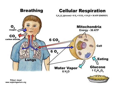 what are the similarities between cellular respiration and