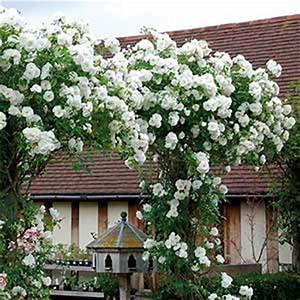 Rosier Grimpant Blanc : rosier f e des neiges grimpant rosier iceberg grimpant ~ Premium-room.com Idées de Décoration