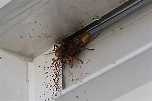 Ameisen Im Haus Ursache : hornissen bund naturschutz in bayern e v ~ A.2002-acura-tl-radio.info Haus und Dekorationen