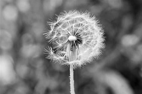 Dandelion In Grey  Go Follow My Instagram