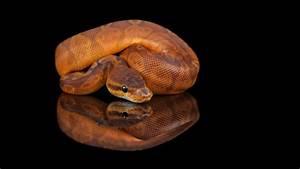 snake bytes tv cool baby pythons snakebytestv