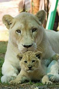 Lion cub and mother in Australia. | Animals | Pinterest