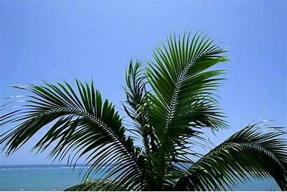 Palm Tree Trees Animated Breeze Gifs Animation