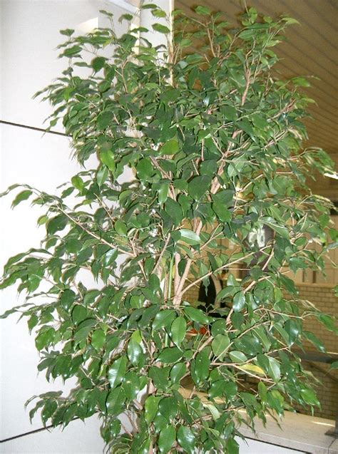 caring for trees how to take care of a ficus tree garden guides
