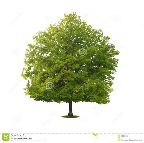 Tree Images No Background by A Tree With A White Background No5 Stock Photo Image Of