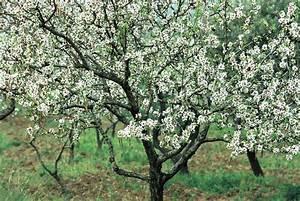 Baum Mit Weißen Blüten : duden man del baum rechtschreibung bedeutung definition ~ Michelbontemps.com Haus und Dekorationen