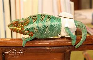 Much Ado About Chameleons: Daedalus & His Intestinal Prolapse