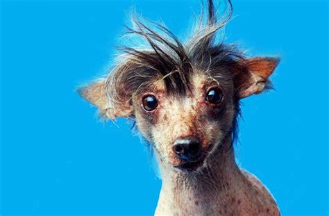 top  ugliest dogs   world part