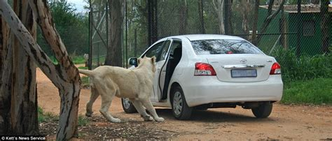 lion car american scofflaw lion attack video the lion starts to