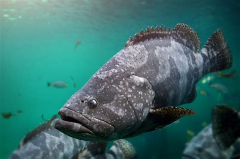 grouper spotted brown colorful fishes aquarium swimming premium different giant fish