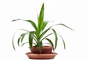 Welche Erde Für Palmen : yucca palme welche erde mag die palmlilie am liebsten ~ Watch28wear.com Haus und Dekorationen