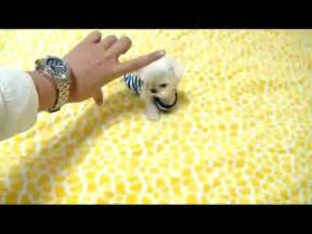 Cute Dogs Dont Shed by Tea Cup Maltese Tiny Size Dogs For Sale Youtube