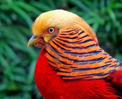 Pheasant Golden Birds