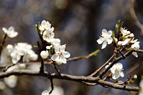 Pflaumenbaum Richtig Pflanzen Und Pflegen by Pflaumenbaum Alles Vom Pflanzen Pflegen Bis Hin Zum