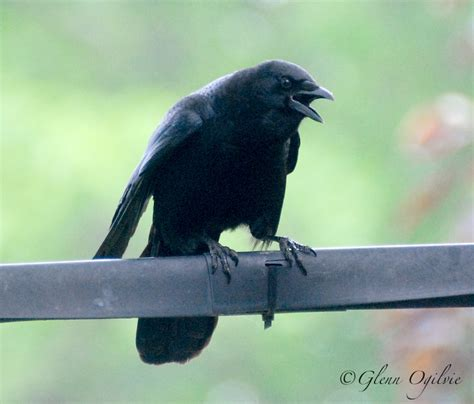 opinion nothing birdbrained about crows the sarnia journal